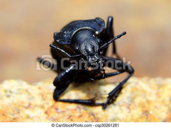 Beetle - Carabus coriaceus - csp30261281