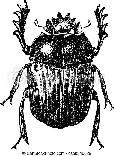 Beetle isolated on white, vintage engraving. - csp8346629