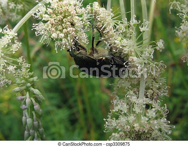 Beetle on white flowers - csp3309875