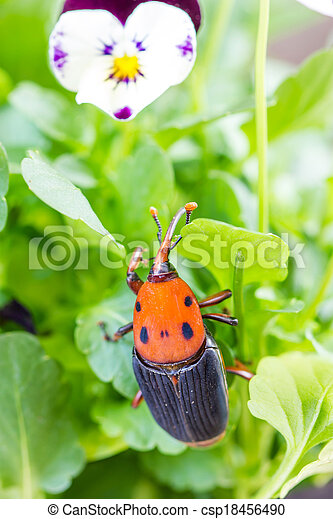 Beetle Rhynchophorus ferrugineus (red palm weevil)