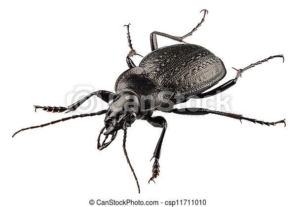 beetle species carabus coriaceus - csp11711010