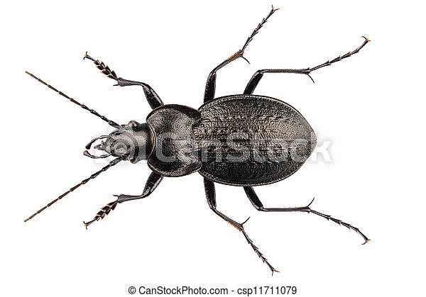 beetle species carabus coriaceus - csp11711079