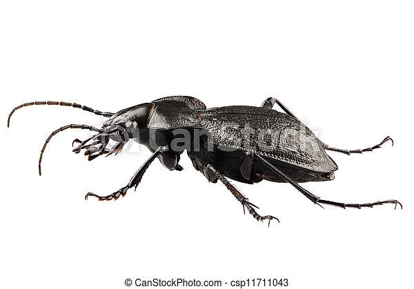 beetle species carabus coriaceus - csp11711043