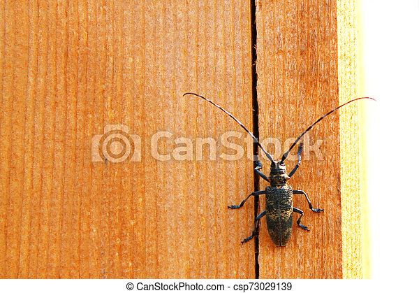 beetle with a large mustache on a wooden texture background - csp73029139