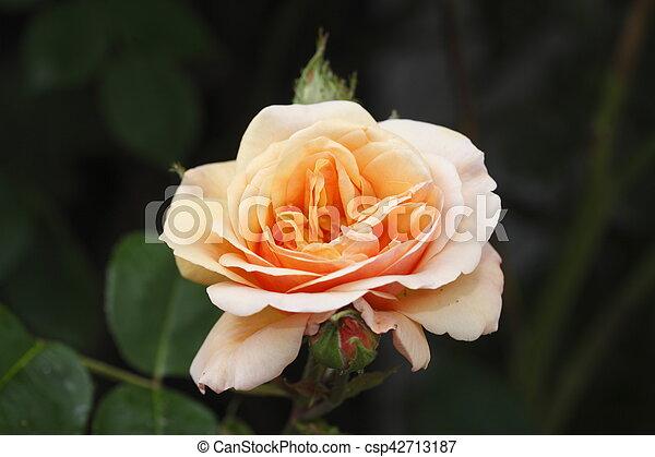 Apricotfarbene Beetrose