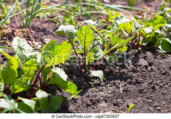 beets growing in the garden - csp67303637