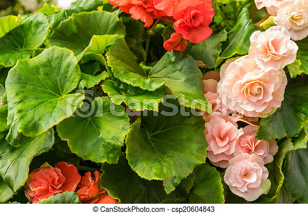 Begonia Plantas Flor Coloridos Plantas Begonia Flores