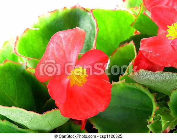 begonia  - csp1120325