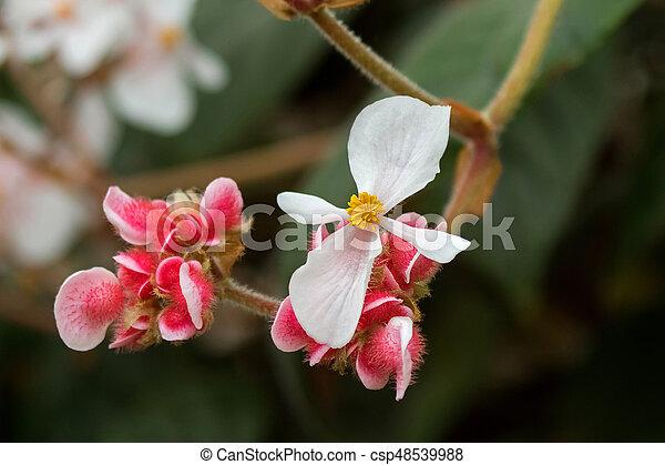 Begonia white flower with yellow stamen and hairy pink flower in begonia white flower with yellow stamen and hairy pink flower in tasmania australia csp48539988 mightylinksfo