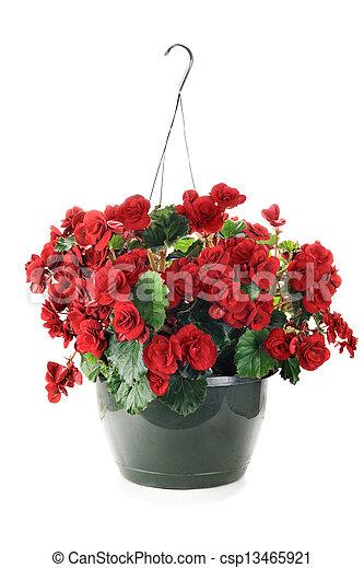 begonie, appendere - csp13465921