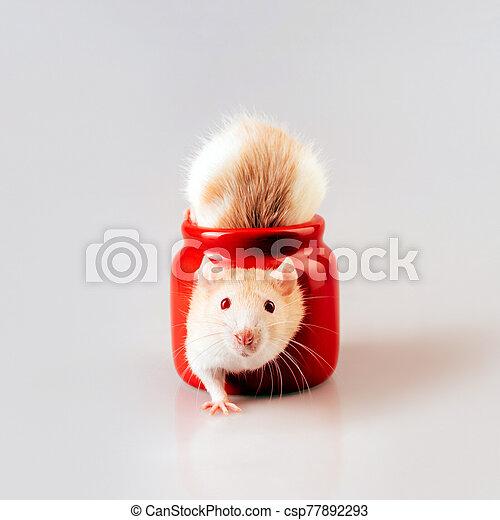 beige, luz, candelero, sentado, rata, ventana, en forma de corazón, rojo - csp77892293