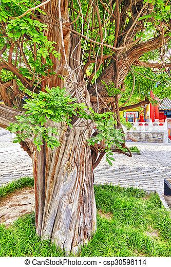Un viejo árbol cerca del templo de Confucio en Beijing, el segundo templo confucio más grande de China. - csp30598114