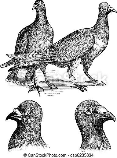 Belgian carriers- Liege or Antwerp pigeon vintage engraving - csp6235834