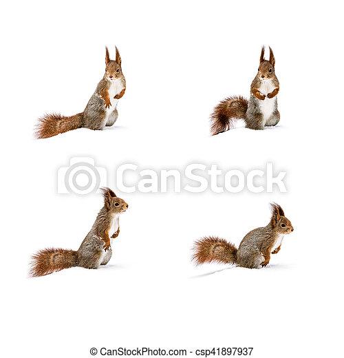 daf53469a5a Beliggende, cute, egern, sne, unge, hvid rød. Beliggende, cute ...
