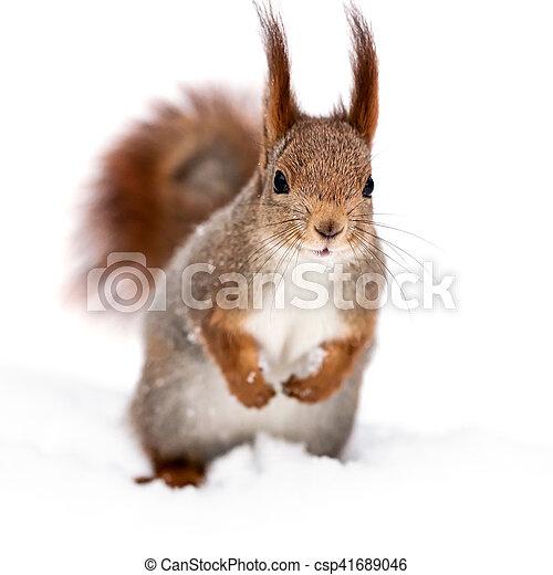 da4d80637e5 Beliggende, egern, sne, mærkelig, hvid rød, vinter. Beliggende ...