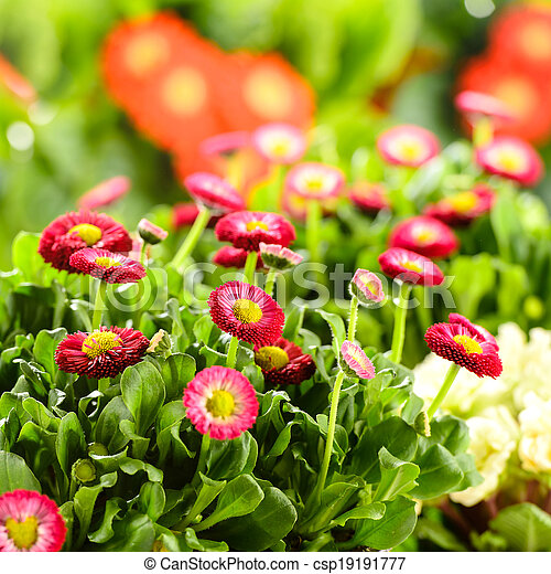 Bellis red potted spring flowers picture search photo clipart bellis red potted spring flowers csp19191777 mightylinksfo