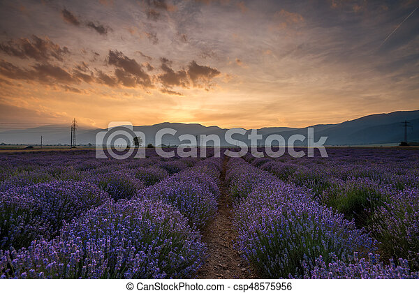 bello, campo, immagine, fields., lavanda - csp48575956