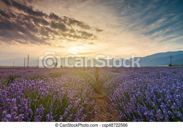 bello, campo, immagine, fields., lavanda - csp48722566