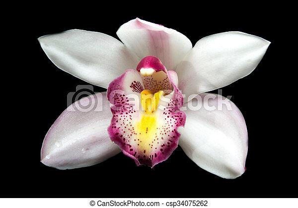Fiori Orchidea Bianchi.Bello Cymbidium Sopra Sfondo Nero Fiori Bianchi Orchidea