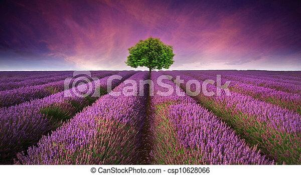 bello, estate, contrapponendo, immagine, albero, giacimento lavanda, colori, tramonto, paesaggio, orizzonte, singolo - csp10628066