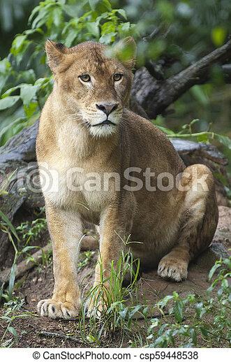 bello, leonessa, foto, isolato, foresta, selvatico - csp59448538
