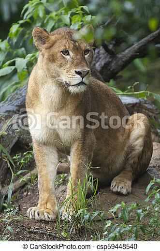 bello, leonessa, foto, isolato, foresta, selvatico - csp59448540