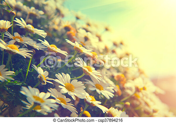 bello, natura, margherita, scena, flowers., azzurramento, chamomiles - csp37894216