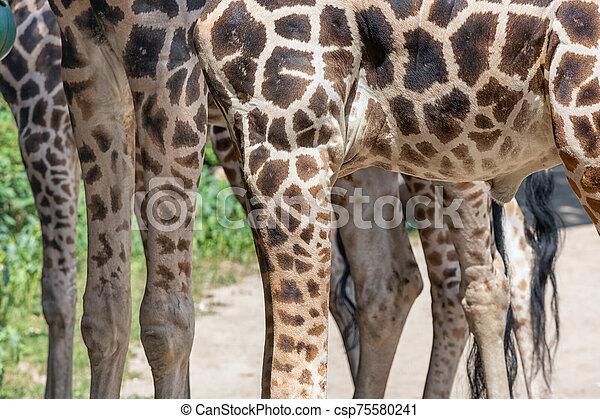 benen, giraffes, boedapest, dierentuin, hongarije - csp75580241