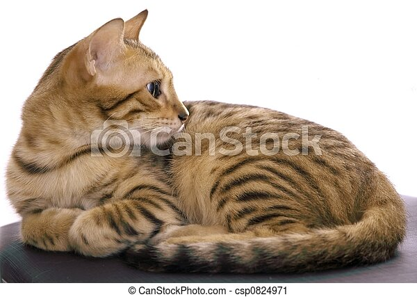 Bengal cat - csp0824971