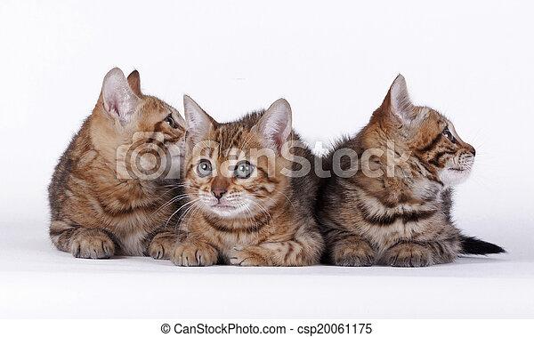 Bengal cat - csp20061175