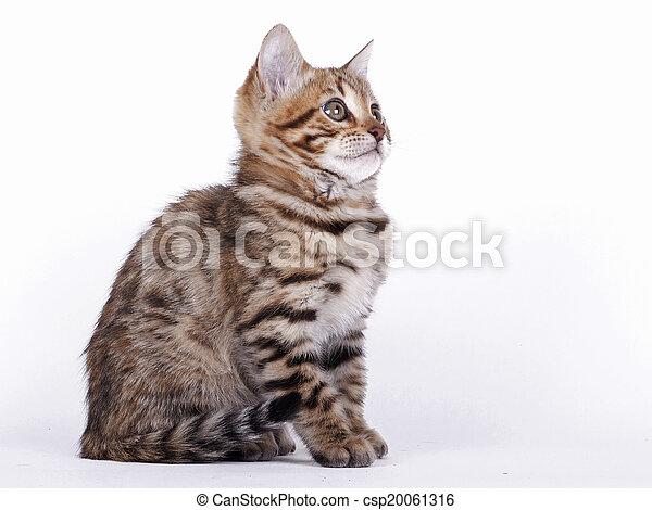 Bengal cat - csp20061316