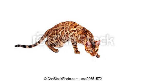 bengal cat - csp20651572