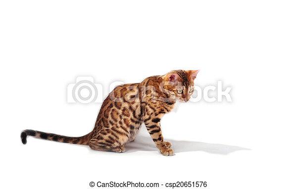 bengal cat - csp20651576