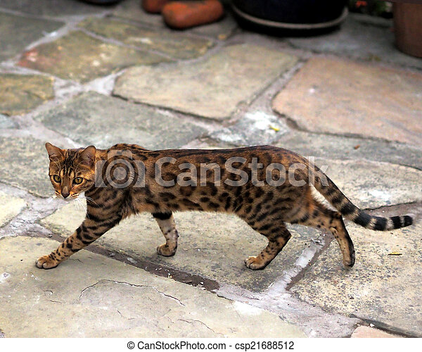 Bengal Cat - csp21688512