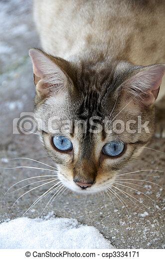 Bengal cat - csp3334171