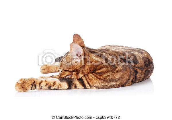 Bengal cat - csp63940772