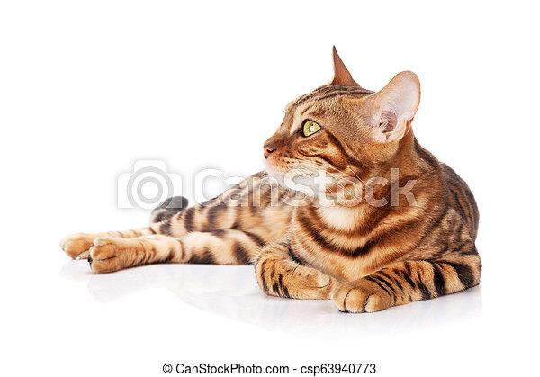 Bengal cat - csp63940773