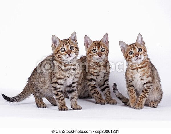 Bengal cat - csp20061281