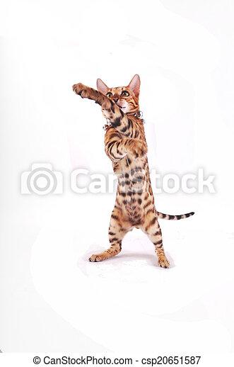 bengal cat - csp20651587
