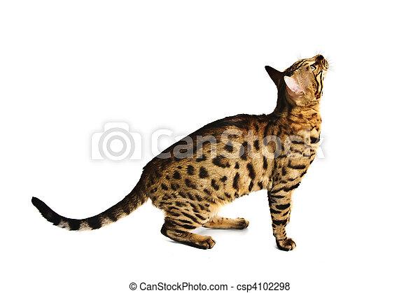 Bengal cat - csp4102298