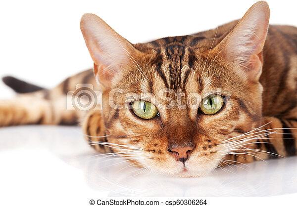 Bengal cat - csp60306264