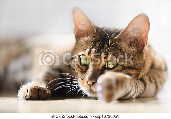 bengal cat - csp16730051