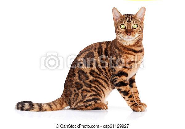 Bengal cat - csp61129927