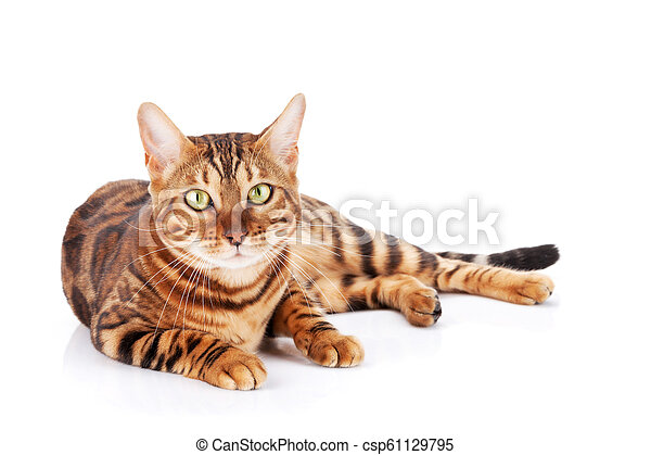 Bengal cat - csp61129795