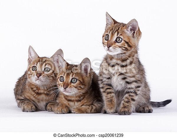 Bengal cat - csp20061239