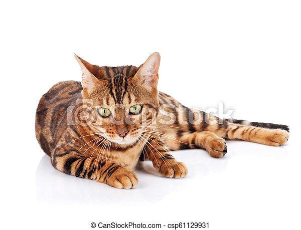 Bengal cat - csp61129931