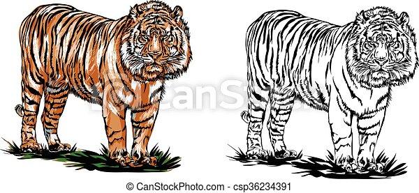 Bengal tiger - csp36234391