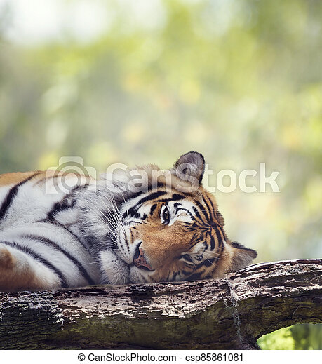 Bengal tiger resting on a tree. - csp85861081