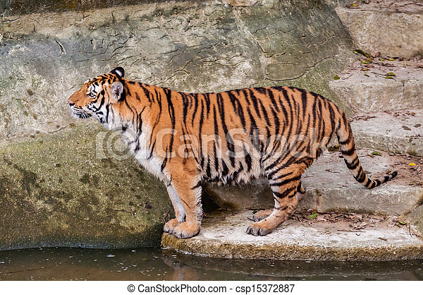 Bengal tiger standing on the rock near water - csp15372887