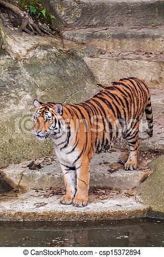 Bengal tiger standing on the rock near water - csp15372894
